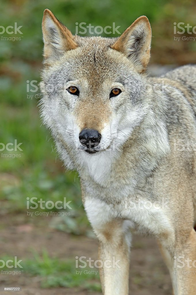 she-wolf royalty-free stock photo