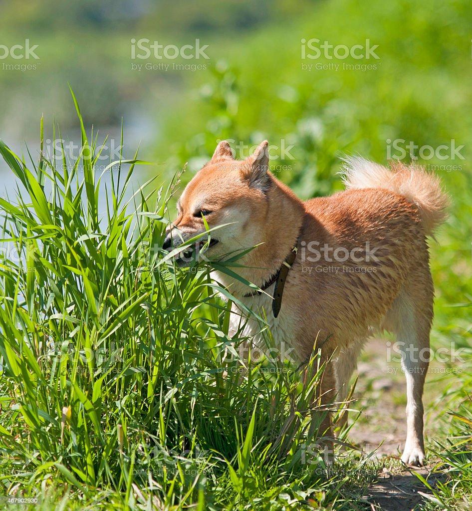 Shiba inu Dog eat grass stock photo