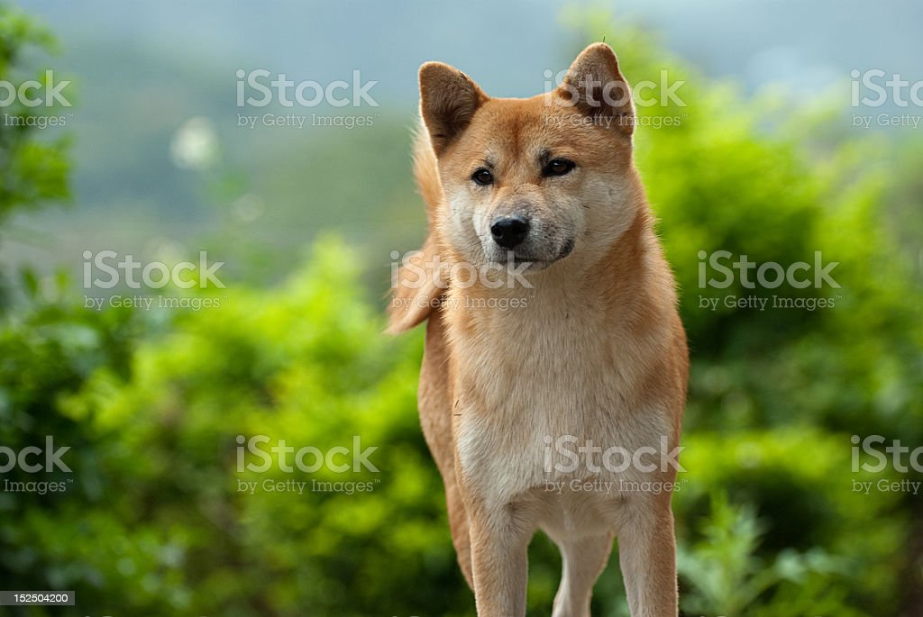 Shiba Inu dog fixating on something it sees stock photo