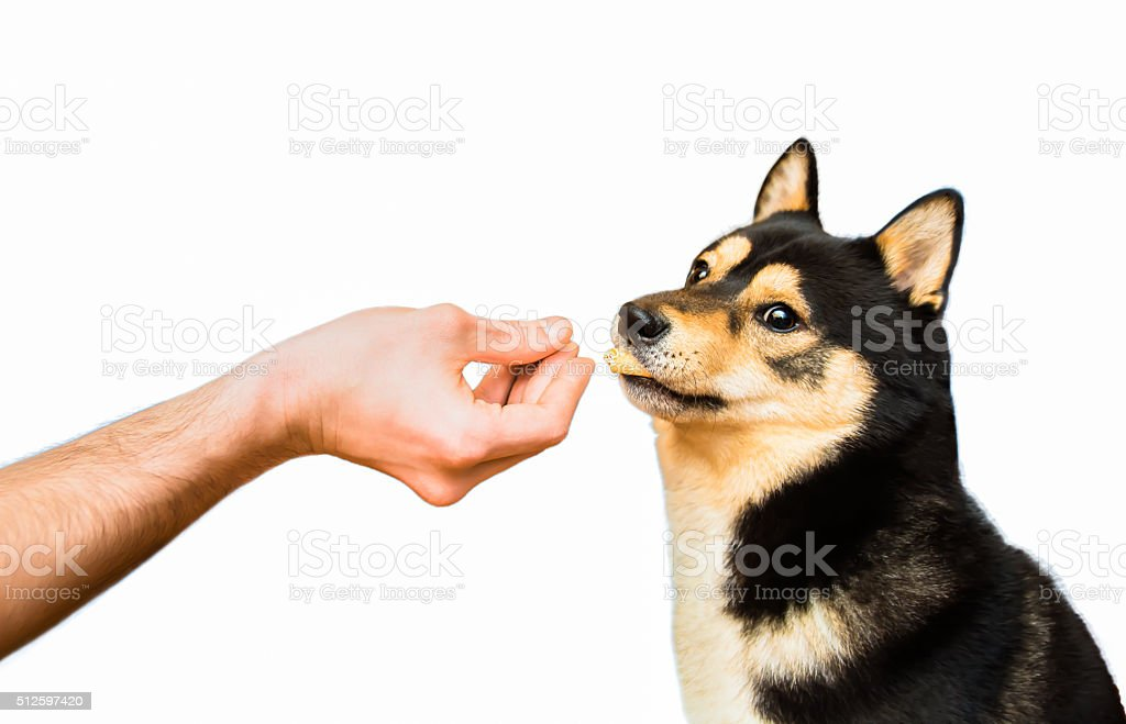 Shiba Inu male dog taking a snack from his owner stock photo