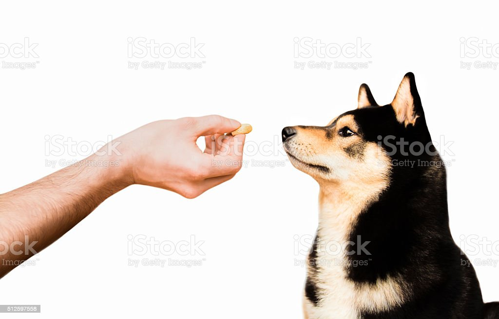Shiba Inu male dog waits patiently for his snack stock photo
