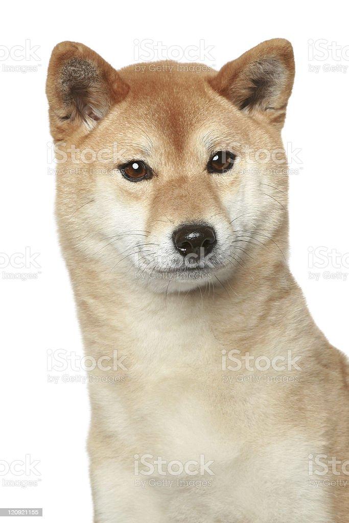 Shiba inu portrait on a white background stock photo