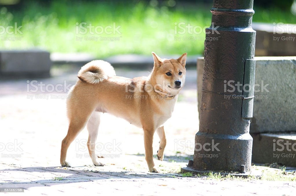 Shiba inu portrait outdoor at summer stock photo