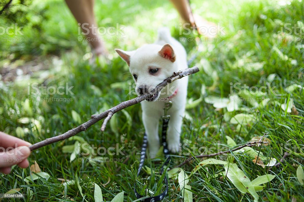 shiba inu puppy playing in the grass stock photo