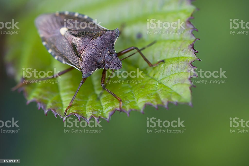 Shield Beetle Sitting on a Leaf stock photo