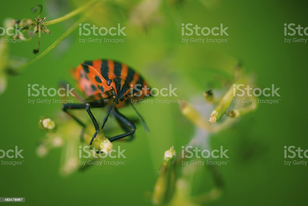 shield bug with green background stock photo
