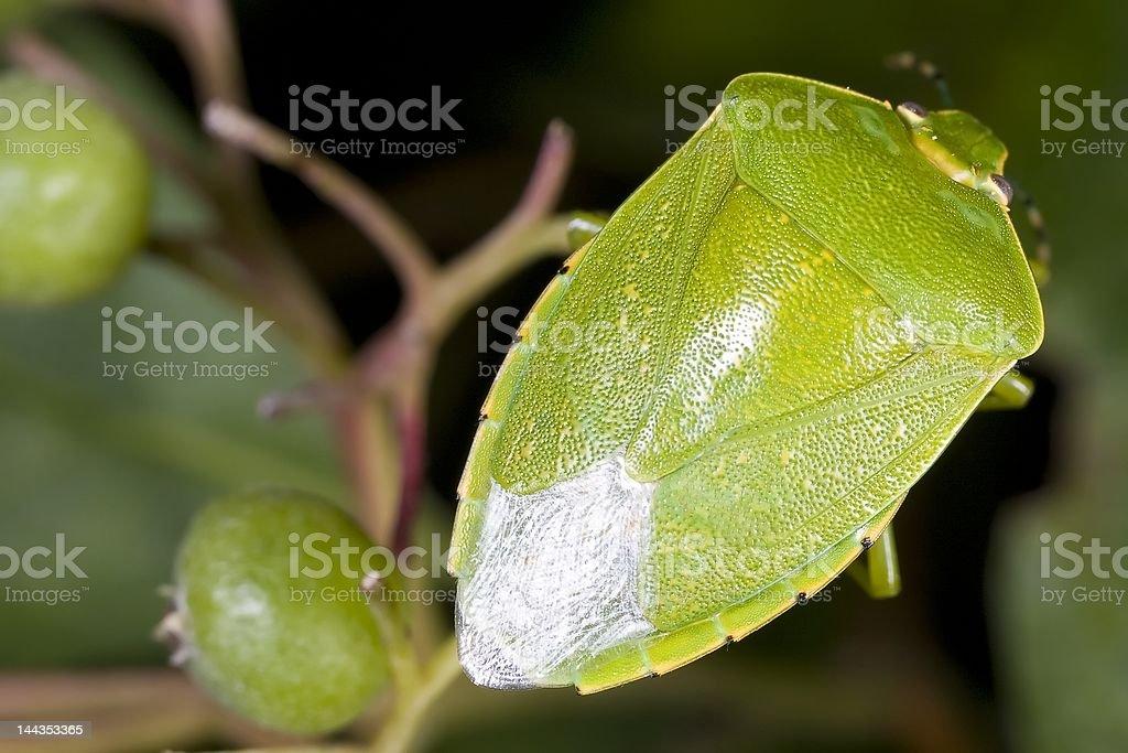 Shieldbug royalty-free stock photo