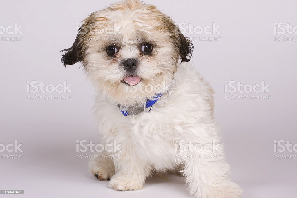 Shih Chon Puppy royalty-free stock photo