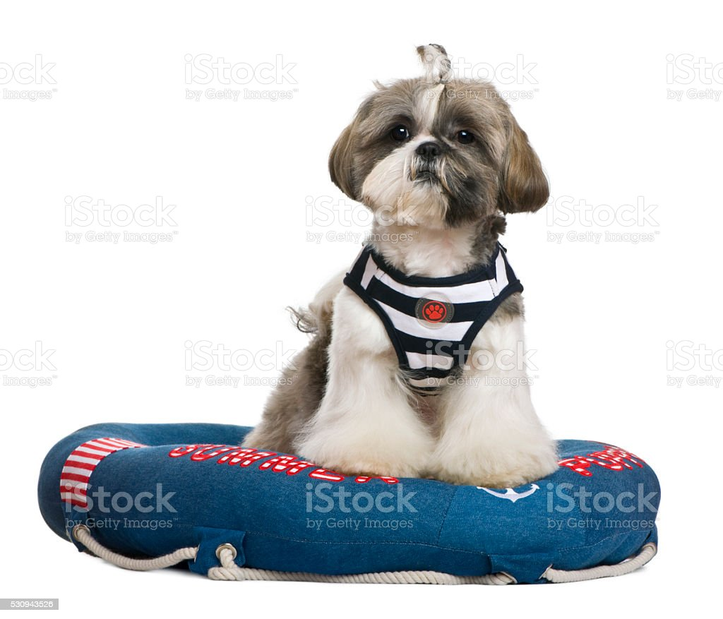 Shih Tzu, 18 months old, standing in lifebelt stock photo