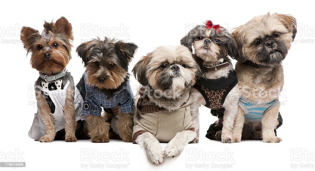 Shih Tzu and Yorkshire Terriers, dressed up, sitting royalty-free stock photo