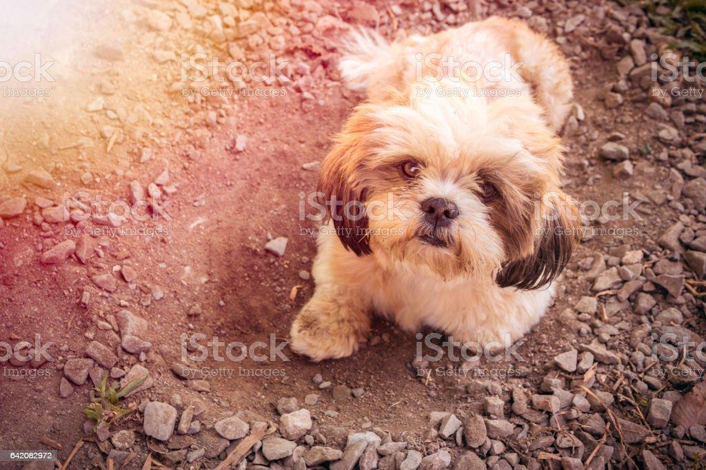 Shih Tzu dog bed stock photo