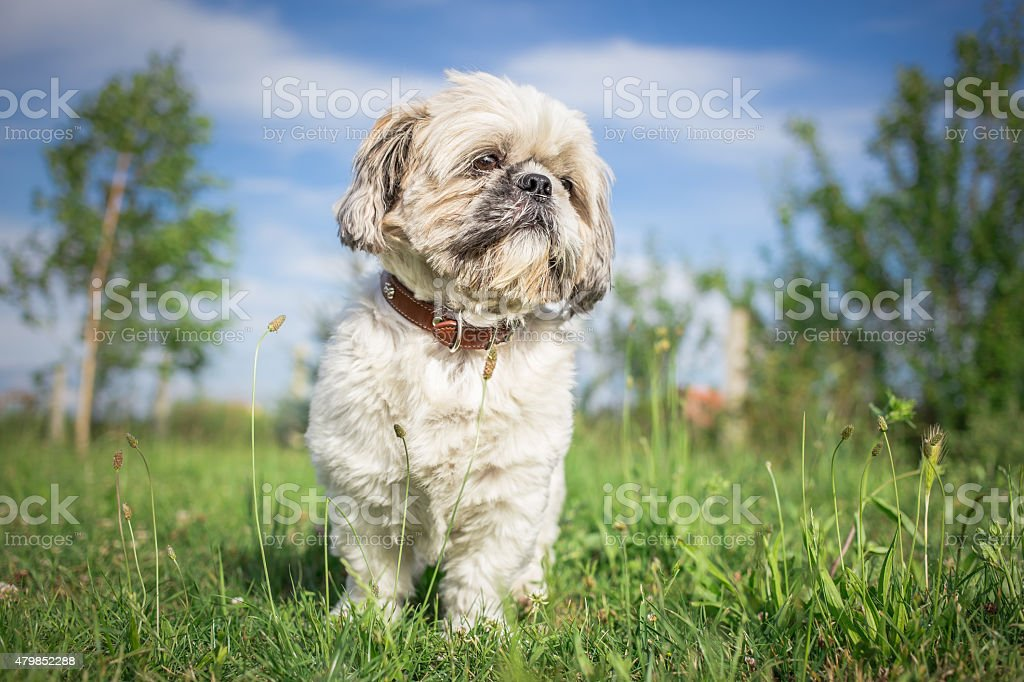 Shih tzu dog in spring garden stock photo
