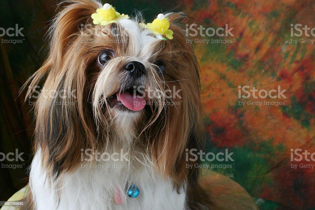Shih Tzu dog sitting in studio on a varicolored background stock photo