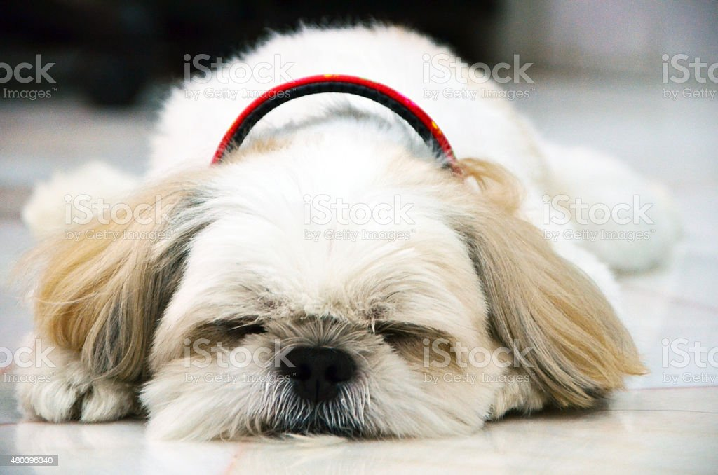 Shih Tzu dog sleeping stock photo