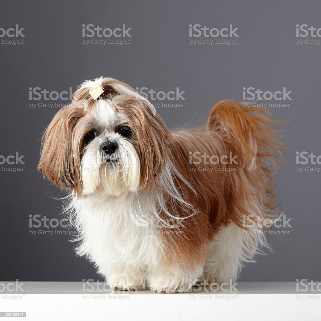 Shih Tzu dog with a ponytail looking at the camera stock photo