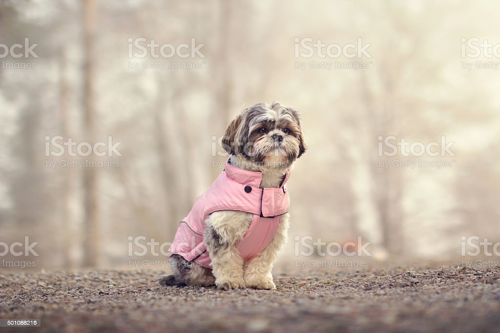 Shih tzu in a jacket stock photo
