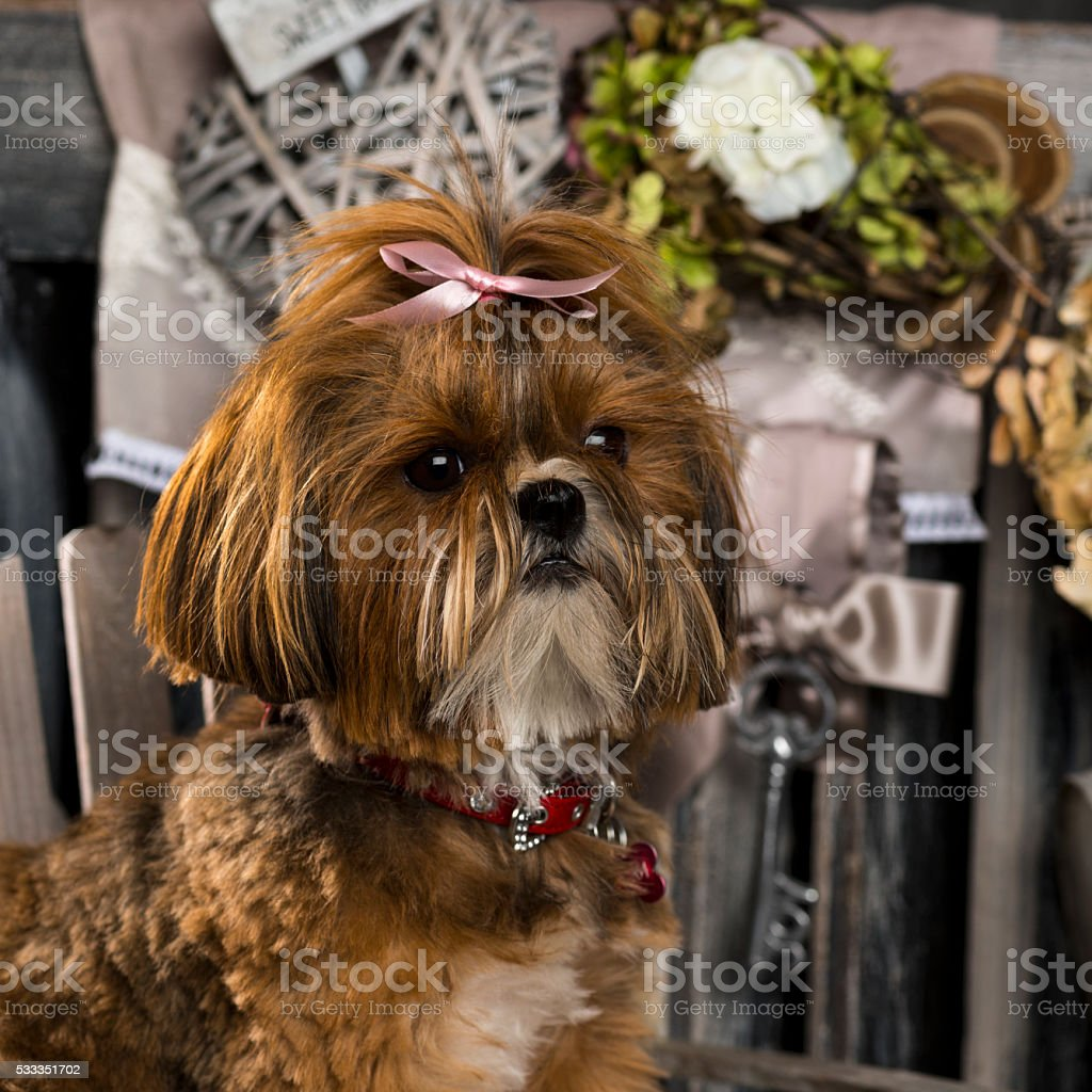 Shih Tzu in front of a rustic background stock photo
