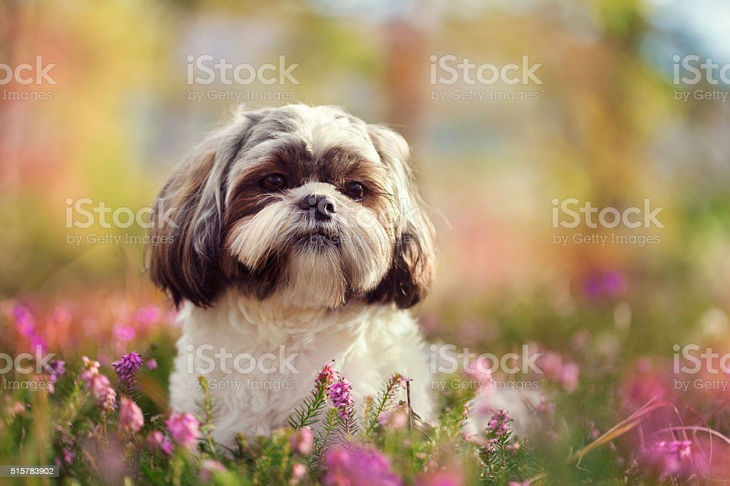 Shih tzu in nature stock photo