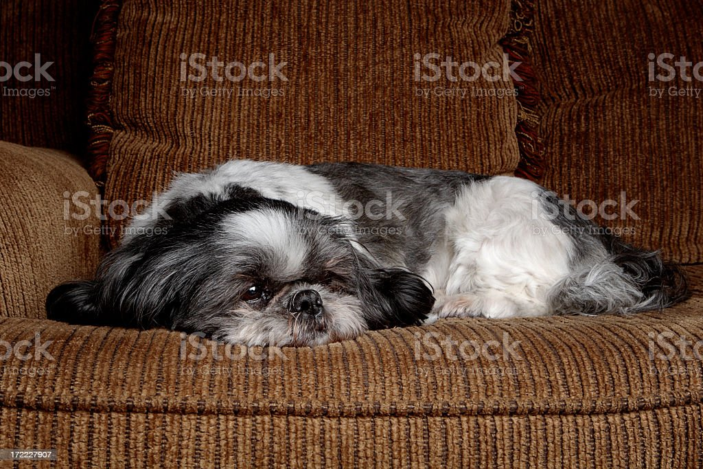 Shih Tzu on a Couch stock photo
