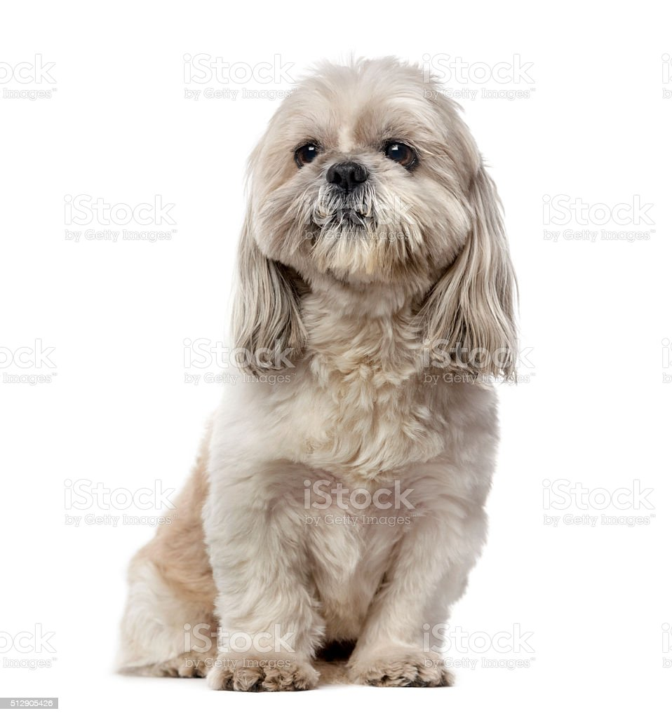 Shih Tzu (5 years old) stock photo