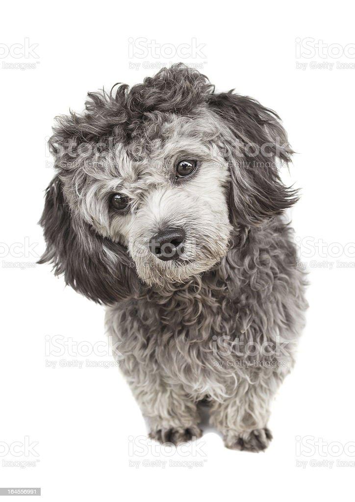 Shih tzu poodle mixed royalty-free stock photo