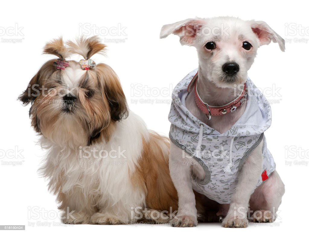 Shih Tzu puppy and Bolognese dressed up and sitting stock photo