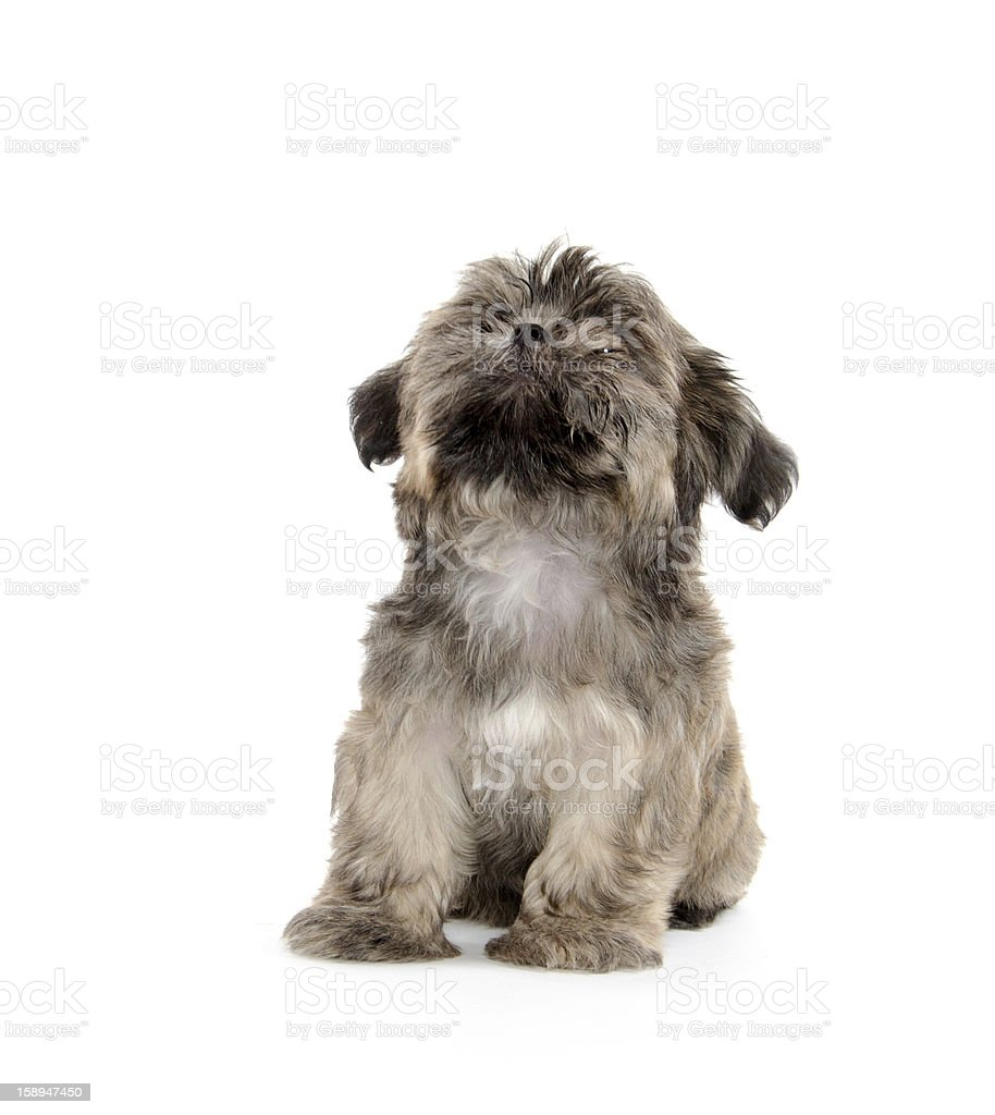 shih tzu puppy begging royalty-free stock photo