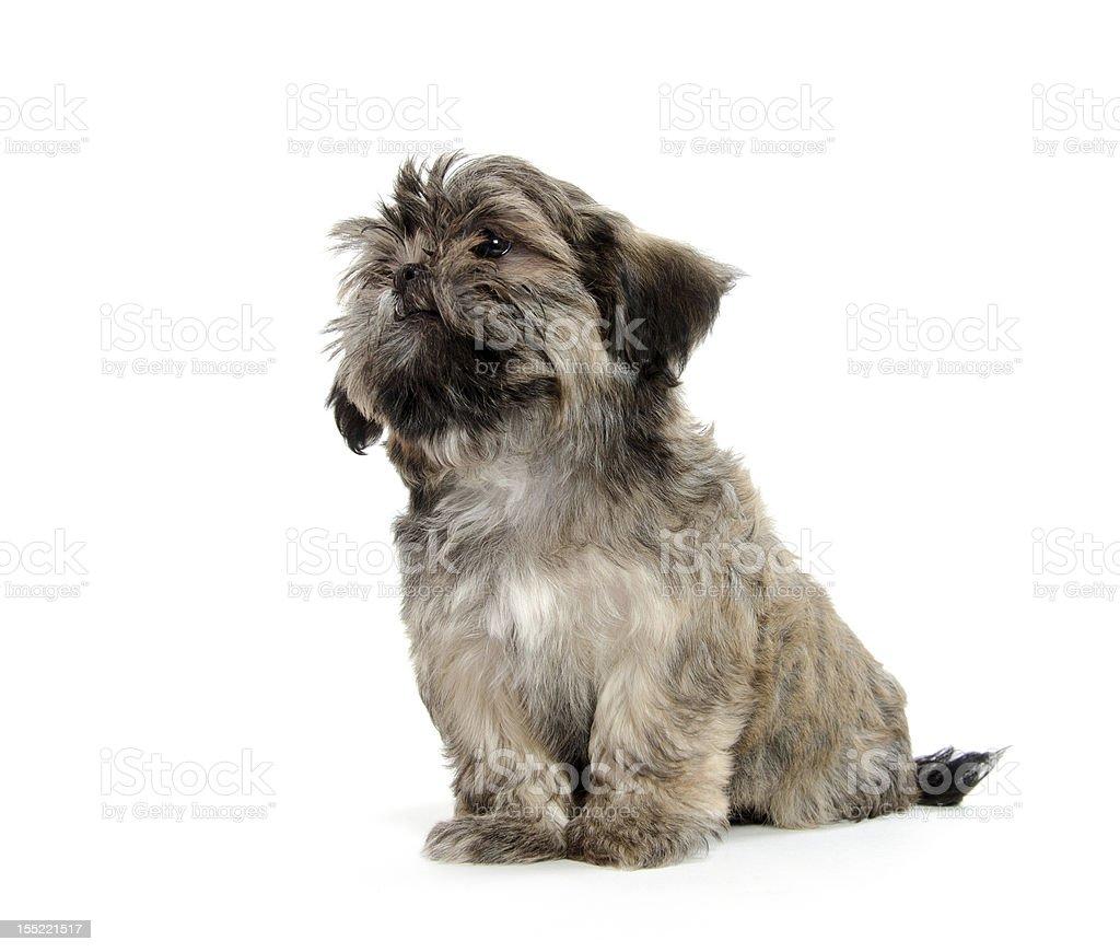 Shih Tzu puppy royalty-free stock photo
