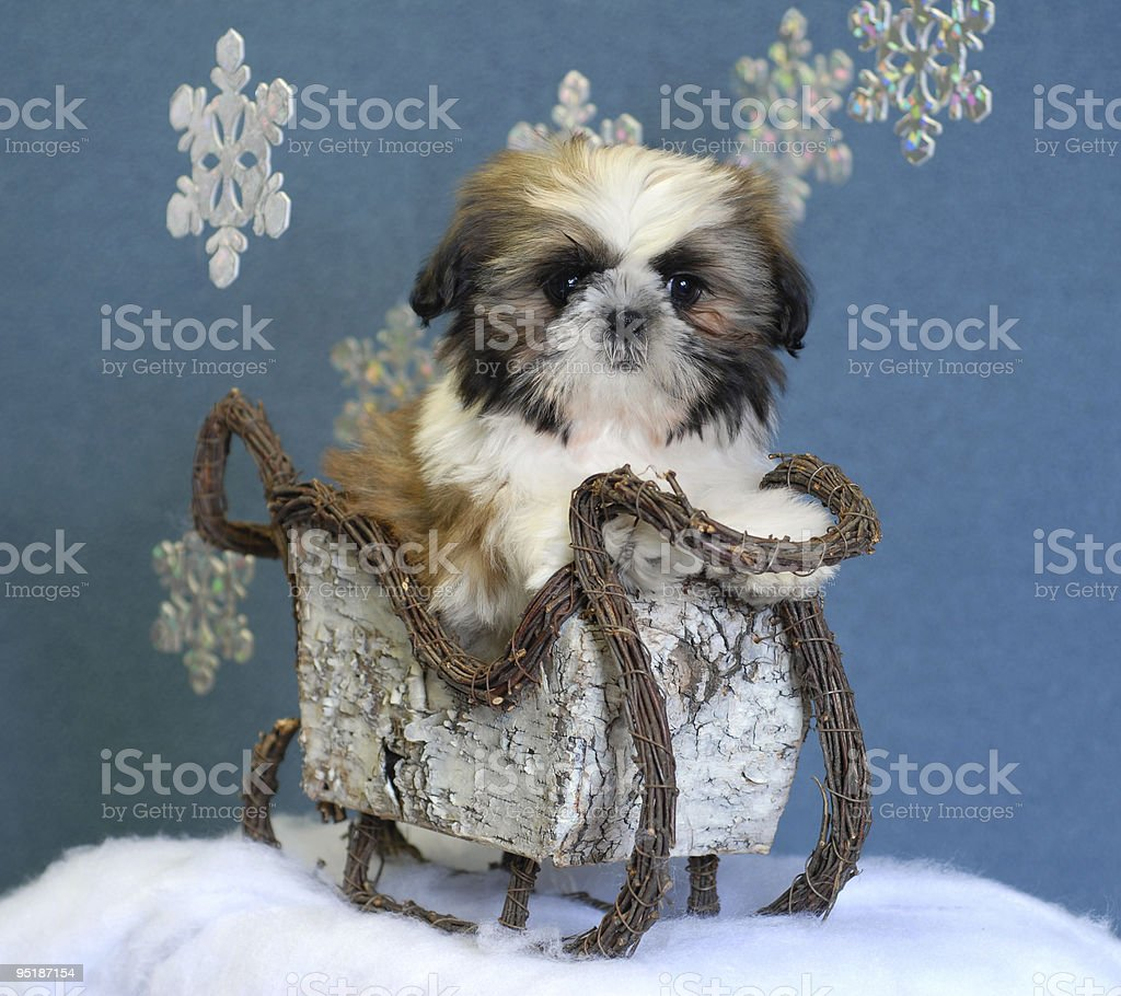 shih tzu puppy with winter sleigh royalty-free stock photo
