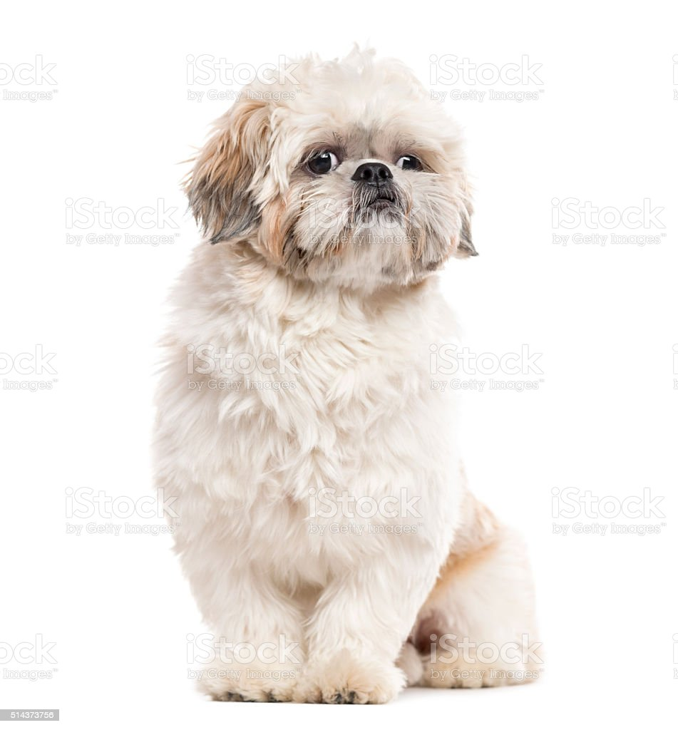 Shih Tzu sitting and looking away, isolated on white stock photo