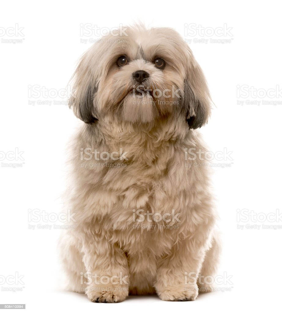 Shih Tzu sitting in front of a white background stock photo