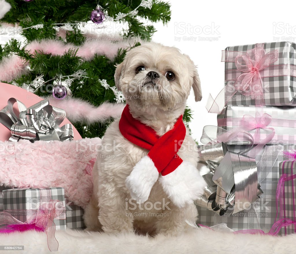 Shih Tzu sitting with Christmas tree and gifts stock photo