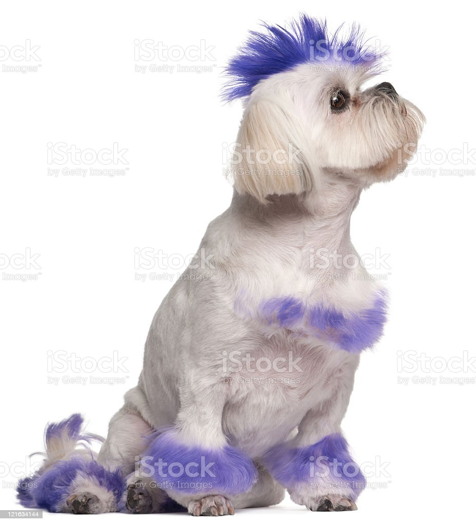 Shih Tzu with purple mohawk, sitting, white background. stock photo