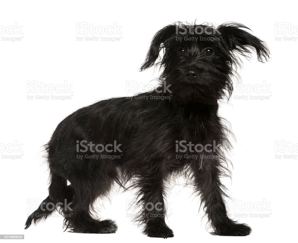 Shih-Tzu mixed with a Yorkshire Terrier, 5 months old, standing stock photo