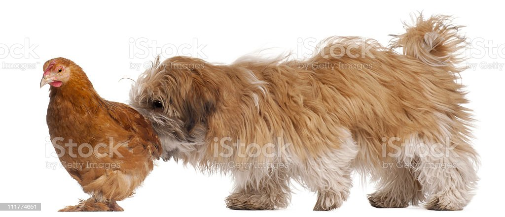 Shih-tzu puppy, 6 months old, and a hen, white background. royalty-free stock photo