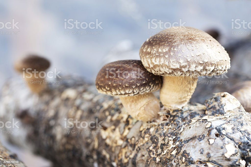 shiitake mushrooms being cultivated the traditional organic way stock photo