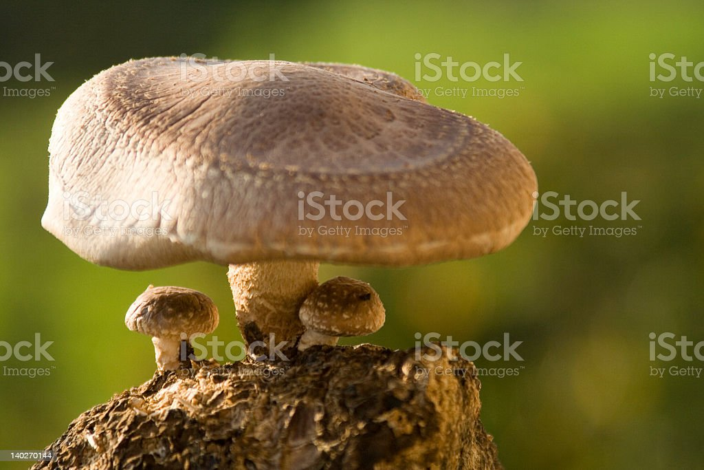 Shiitake Mushrooms with a green background stock photo