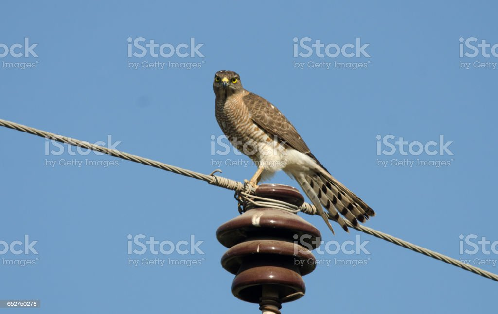 Shikra stock photo