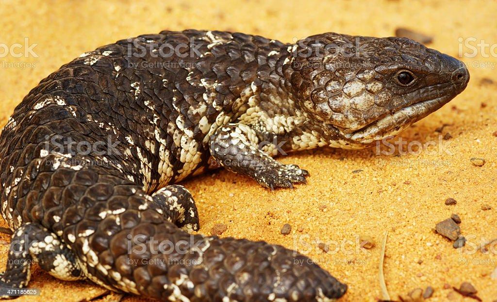 Shingleback Lizard stock photo