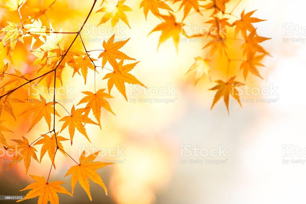 Shining Autumn Japanese Maple Leaves stock photo