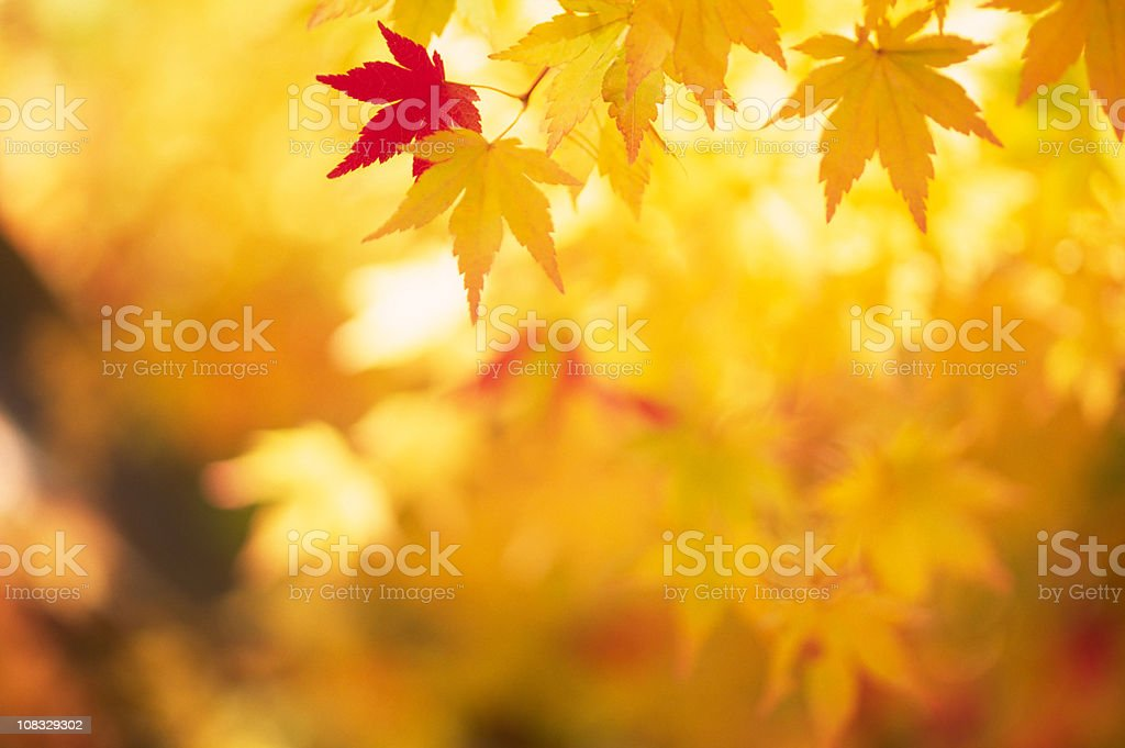 Shining Autumn Leaves stock photo
