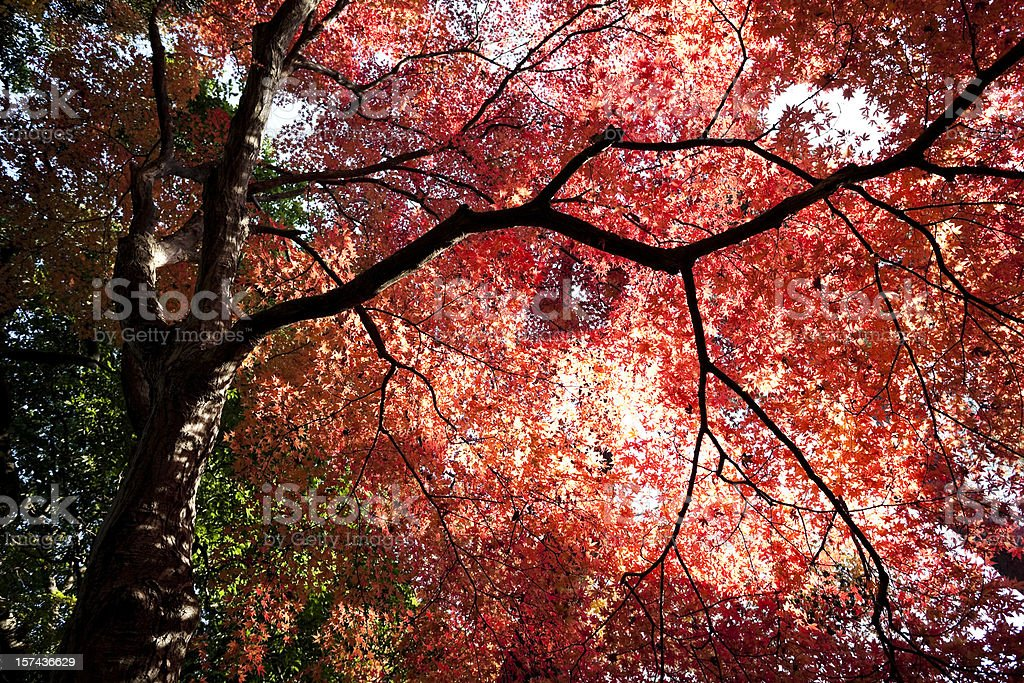 Shining Autumn Leaves royalty-free stock photo