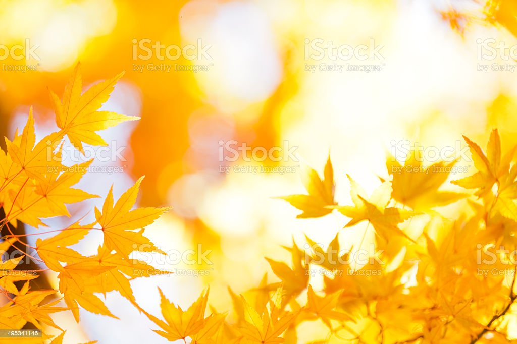 Shining Autumn Leaves stock photo
