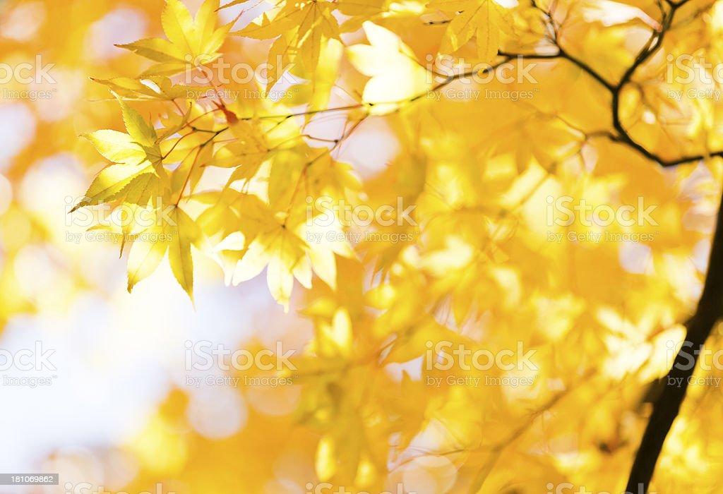 Shining Autumn Yellow royalty-free stock photo