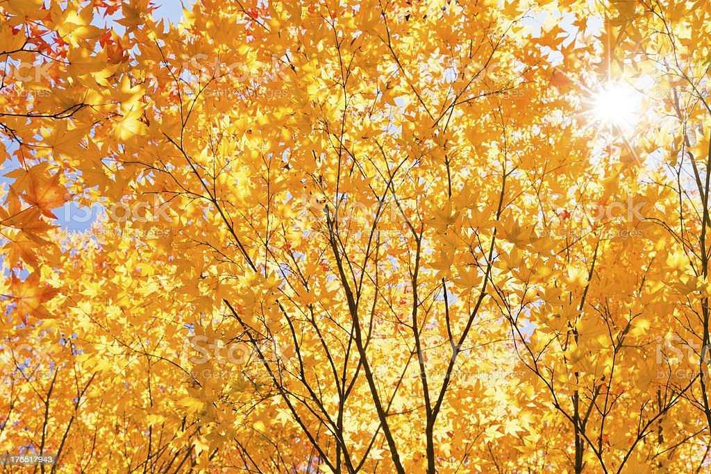 Shining Fall Foliage royalty-free stock photo