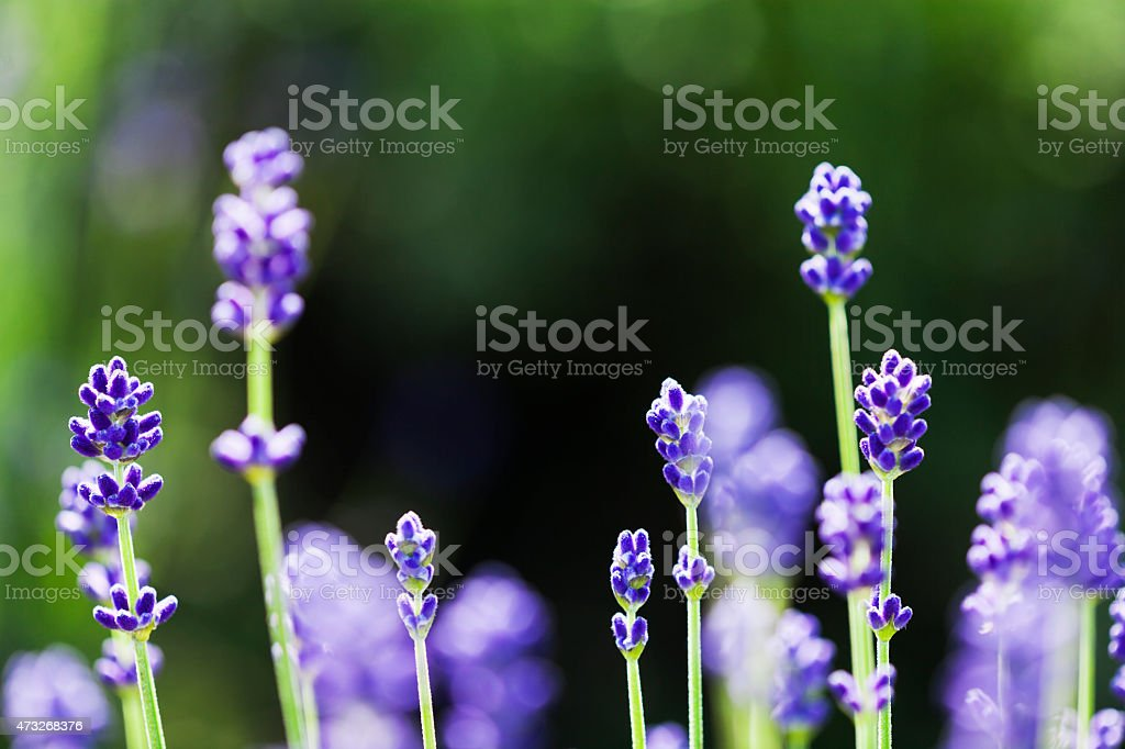 Shining Lavender Flowers stock photo