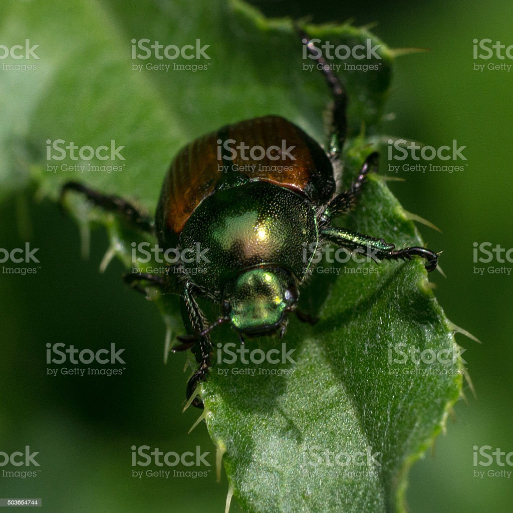 Shining Leaf Chafer Beetle stock photo