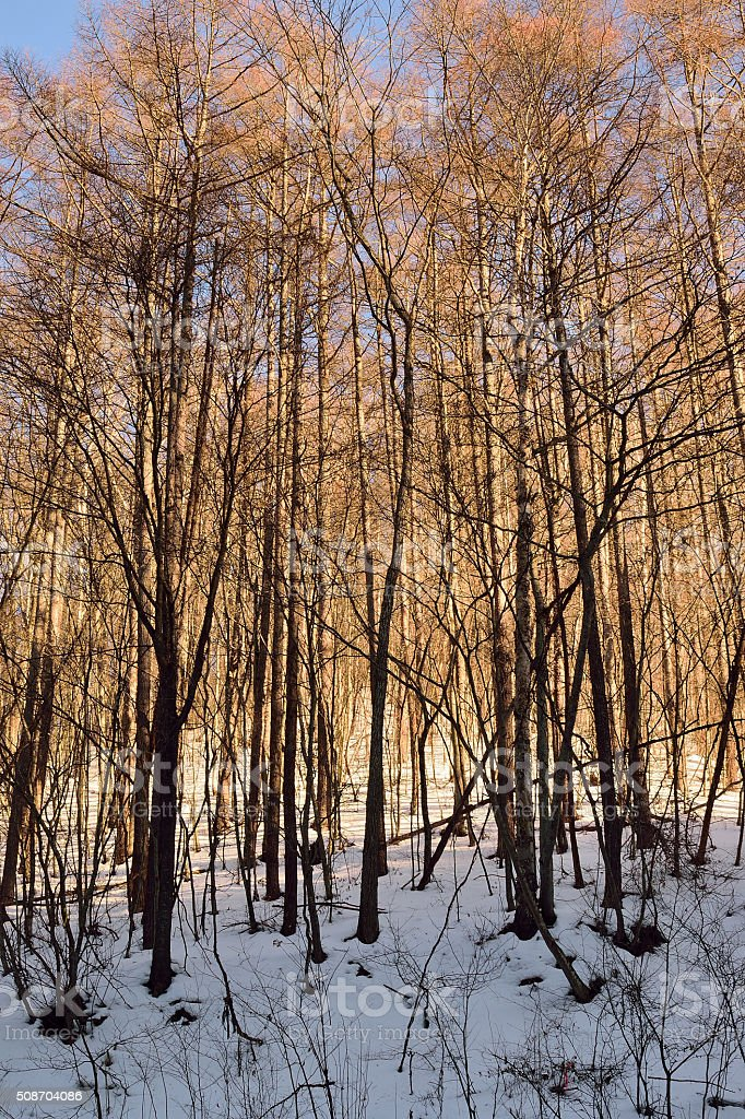 Shining Snowy Pine Forest in Japan stock photo