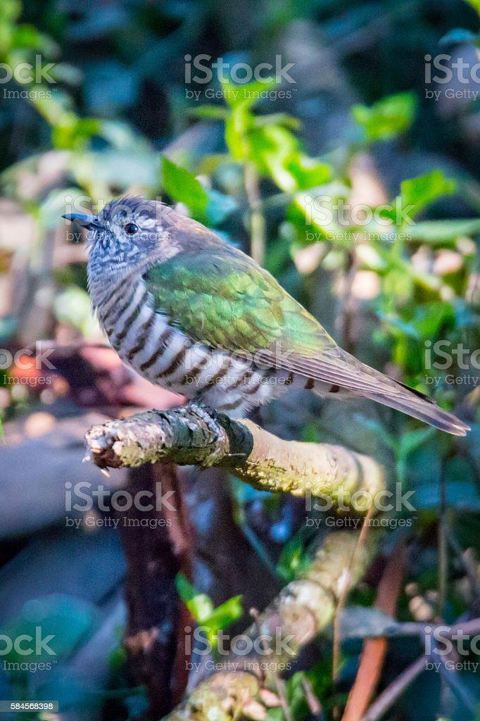Shining-Bronze Cuckoo stock photo