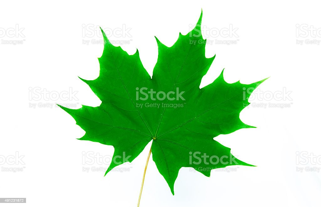 Shiny and green maple leaf stock photo